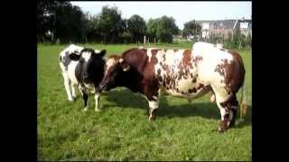 Repeat youtube video Love bull