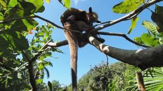 Anteater Sighting in Costa Rica
