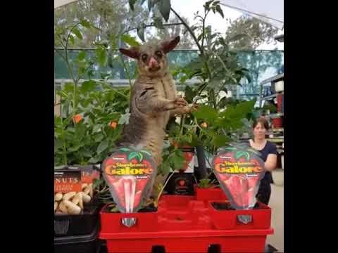 Aussie Possum In Garden Centre 2017 09 04