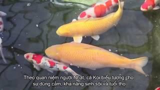 Đây là cách người Nhật thụ tinh cá Koi đắt tiền