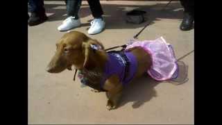 Wiener Dog Dachshund 1 Hot Dog Daisy Outfits