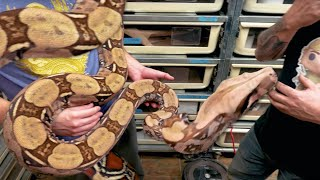 VISITING AN INSANE SNAKE COLLECTION! CHASE BAKER!! | BRIAN BARCZYK