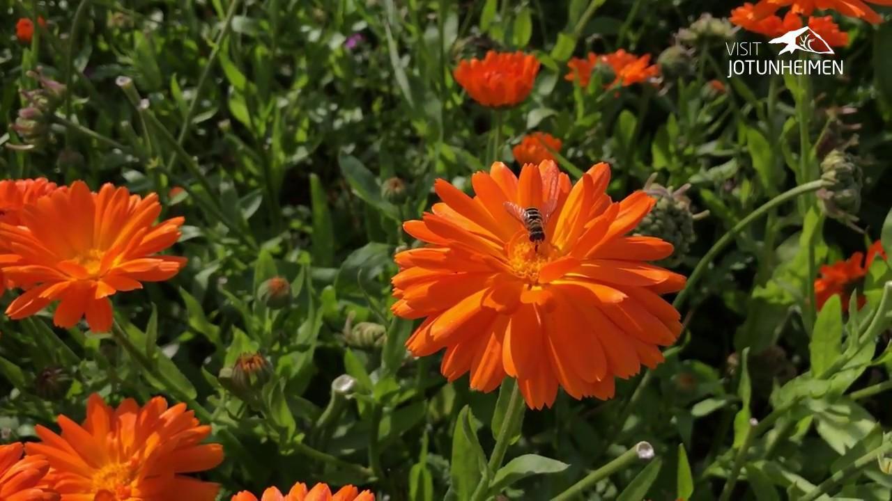 Fjellsmaken: Urter og grønsaker på Aukrust gard og urteri