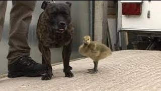 Staffordshire Bull Terrier Befriends Orphaned Gosling At Animal Rescue Centre