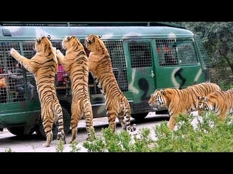 Angry Royal Bengal Tiger Comes to Forward of Safari Bus | A Full Day tour Bangabandhu Safari Park thumbnail