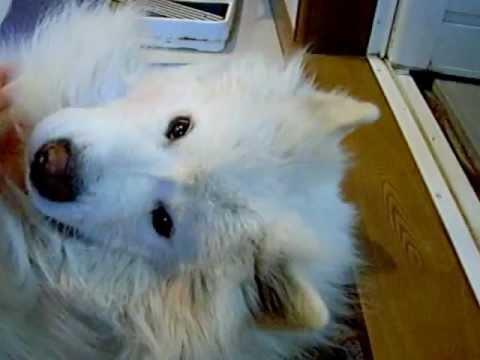 サモエド クローカ 「またぎ犬」 (samoyed kloka)