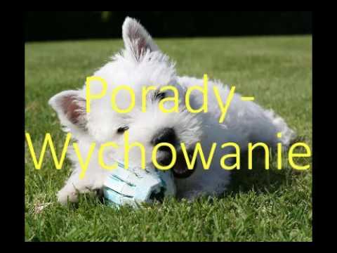 West Highland White Terrier - Prezentacja rasy   wszystko o psach