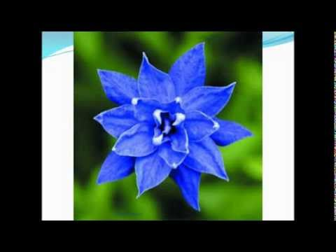 Royal Blue Bell Pictures