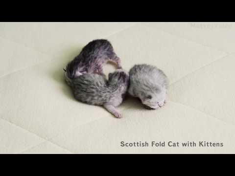 Новорождённые Шотландские котята * Newborn scottish kittens