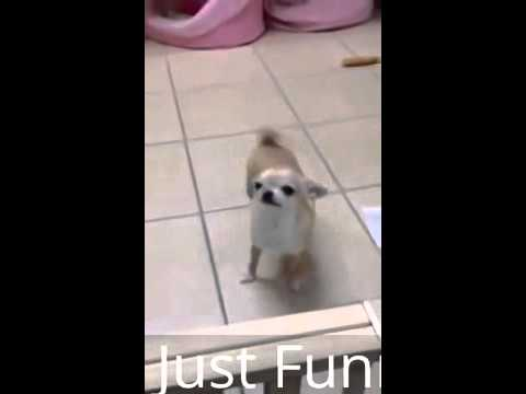 Chihuahua Animal Funny Videos 2015 dog Dance