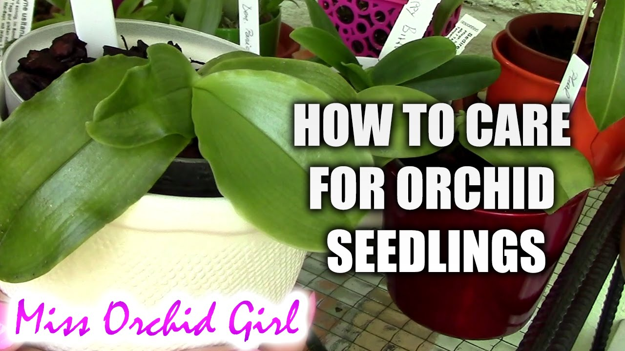 How To Water An Orchid For Caring Plant