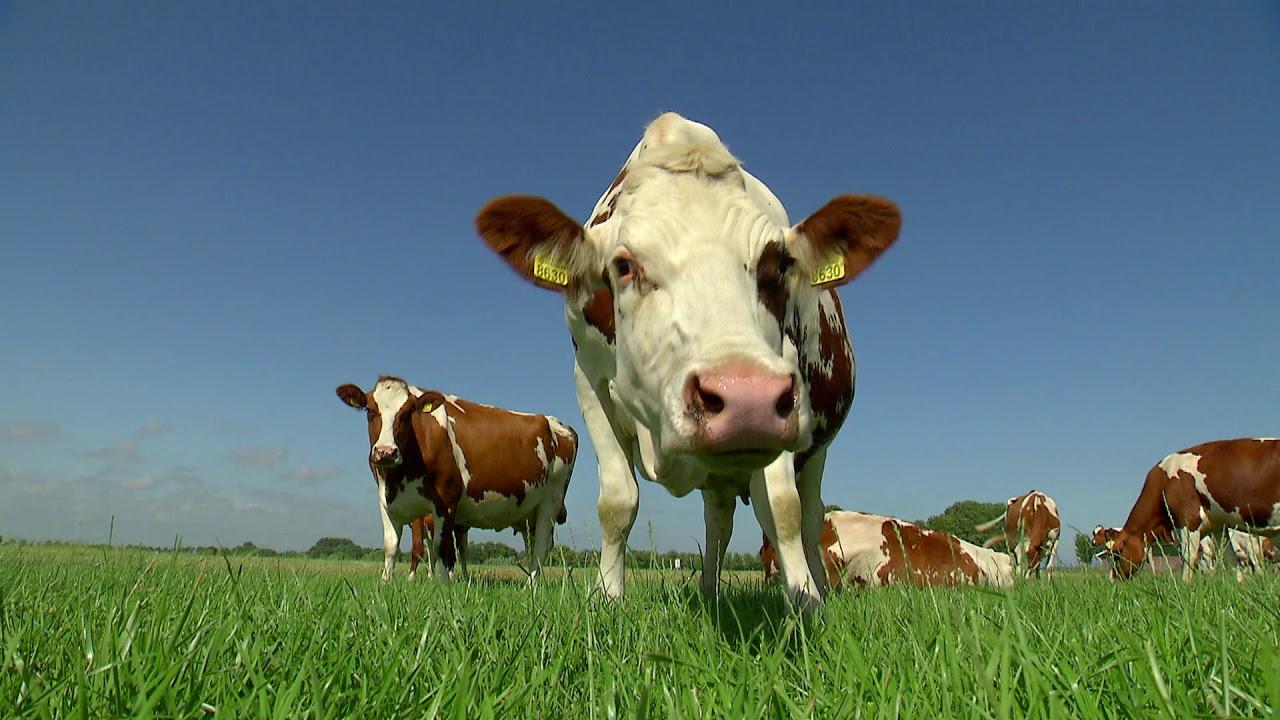 Beemster kaas viert 10-jarig jubileum van Caring Dairy - Beemster