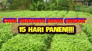 CARA MENANAM BAYAM SINGKAT!!! SISTEM SEMAI TANPA DISEBAR LAGI