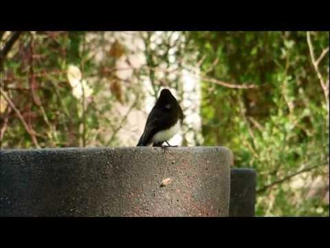 Black Phoebe, Sayornis nigricans, Southern California