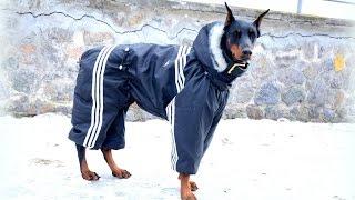 Комбинезон для собак своими руками! Одежда для собак! Выкройка комбинезона для собаки!