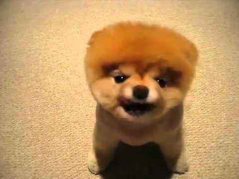 Cute Puppy Jammin Funny Videos Mp4