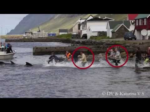 Operation Bloody Fjords: Shocking Photos of Faroese Footballers Participating in Whale Slaughter