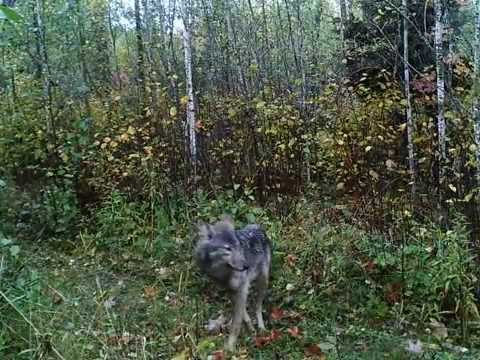 Timber Wolf On Trail Cam Youtube