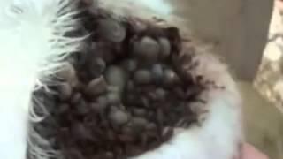 видео Вши у собак, фото