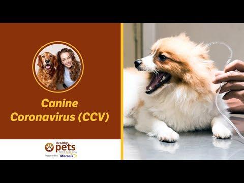 Dr. Becker Discusses Canine Coronavirus (CCV)