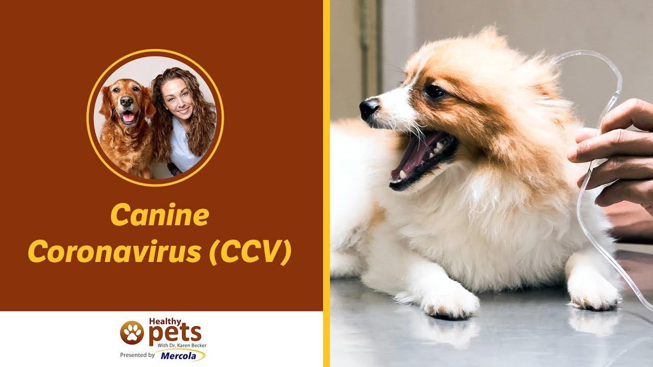 Dr. Becker Discusses Canine Coronavirus (CCV) - YouTube