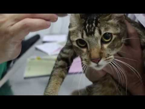 a-cat-has-ringworm-and-fur-mite