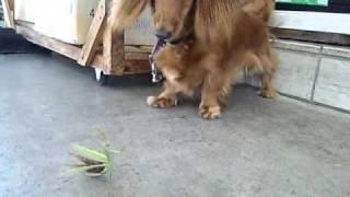 自宅で飼っている犬(ミニダックスフント)がカマキリと戦っています!