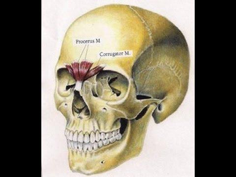 1]kopf-linksoberflÄchlichaugenlid und augenbrauen linksm, Human Body