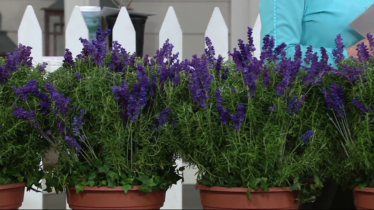 Cottage Farms 6-pc Lavance Purple Lavender on QVC