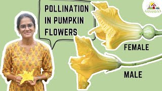 Pumpkins (Part 1) - FLOWERS AND POLLINATION