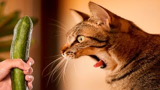 Cats scared of Cucumbers Compilation - Cats Vs Cucumbers - Funny Cats