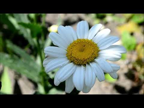 Цветы похожие на ромашки. Цветы ромашки, эхинацеи и пиретрумы нескольких сортов