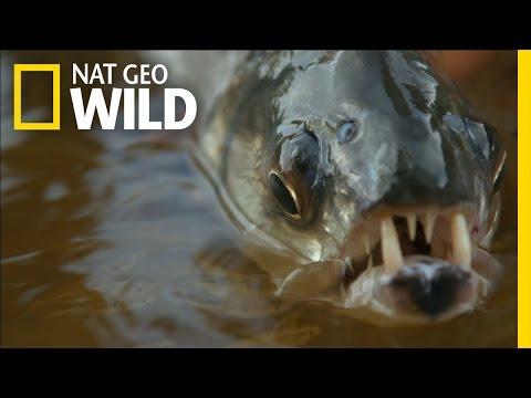 Freaky Fish Fangs | Monster Fish