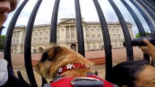 Gopro: Border Terrier London Trip Uk