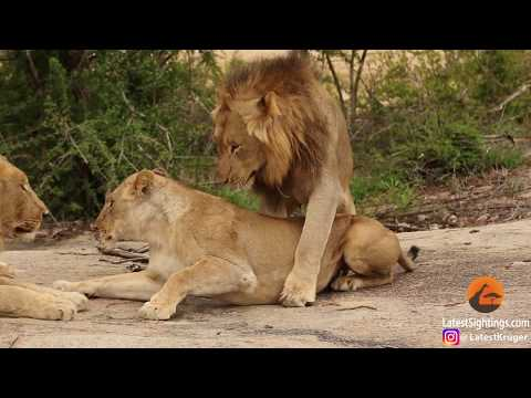 Awkward! Three male lions take turns mating with lioness from YouTube · Duration:  1 minutes 18 seconds