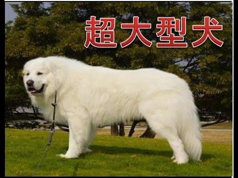 強い!大きい!頼りになる!超大型犬人気ランキング10