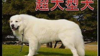 超大型犬の存在感はもう圧倒的ですよね。逞しく頼りになるそんな彼らを...