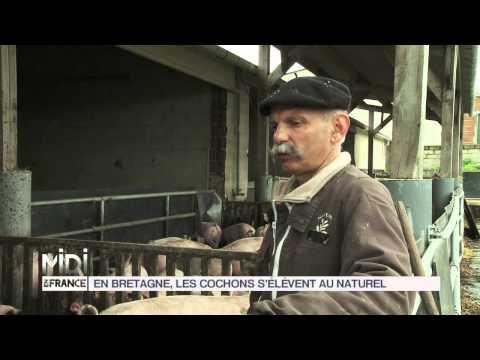 FEUILLETON : En Bretagne, les cochons s'élèvent au naturel