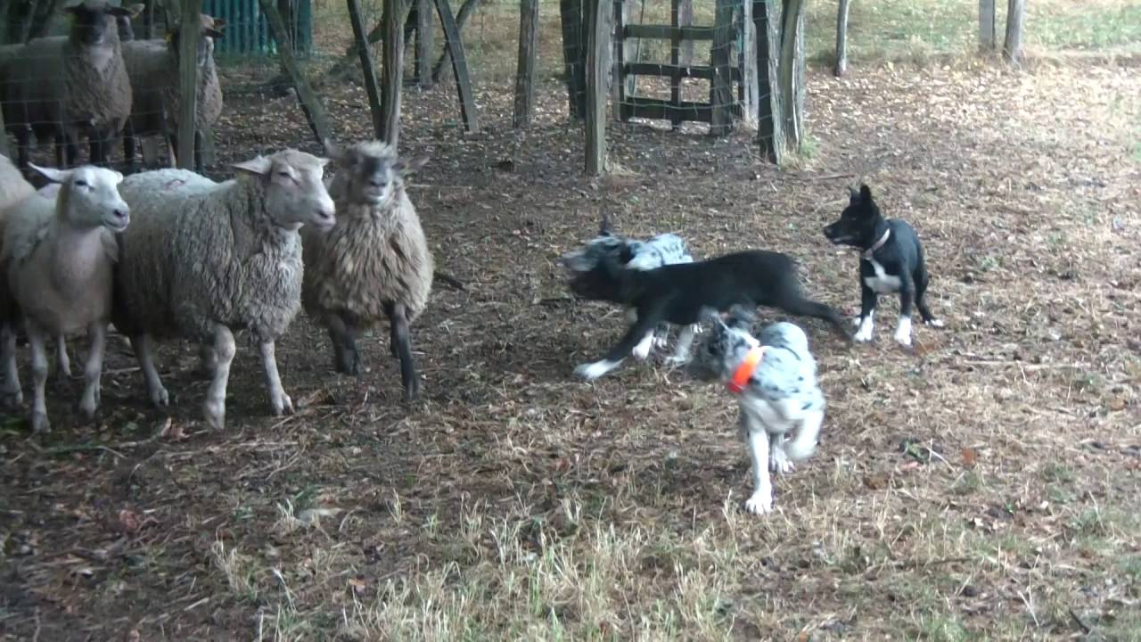 Hanging tree cow dogs for sale - Hangin Tree Cowdogs 3 Mois