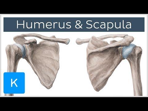 Humerus und Scapula - Anatomie des Menschen | Kenhub
