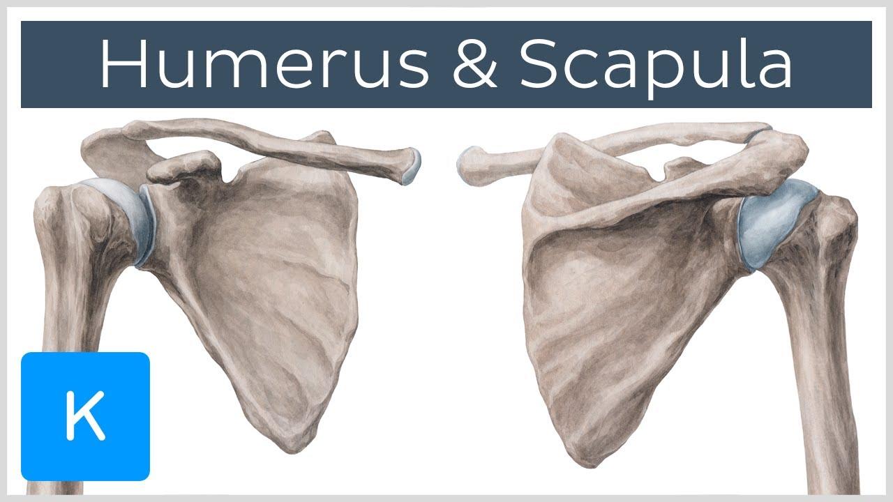Humerus und Scapula - Anatomie des Menschen | Kenhub - YouTube