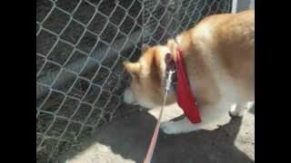 http://moko0311.blog.fc2.com/ 柴犬もこちゃんのブログはこちら 茶柴も...