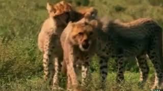 Страшные моменты дикие животные/ Охота ЗЕБРА Львов
