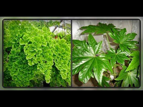 Декоративно - лиственные комнатные растения хорошо растущие в тени