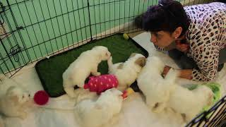 Coton Puppies For Sale - Kara 4/7/20
