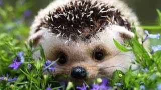 Florin Chilian - Un arici pe-un câmp de maci