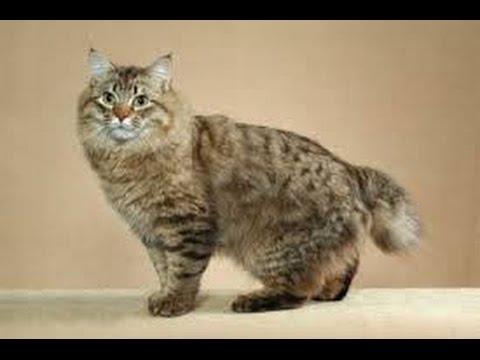 American bobtail Longhair cat