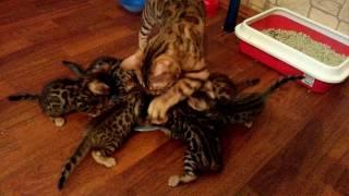 Бенгальские котята Нижний Тагил, продажа