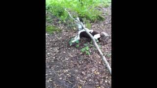 Springer Spaniel Vs Tree