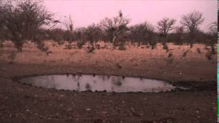 BOWHUNTING SANDGROUSE